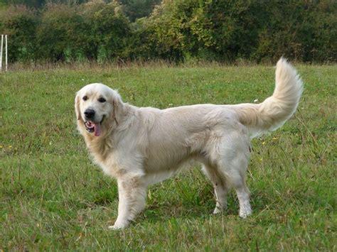summeramba golden retrievers chien elevage de la aux leux eleveur de chiens golden retriever et cockers