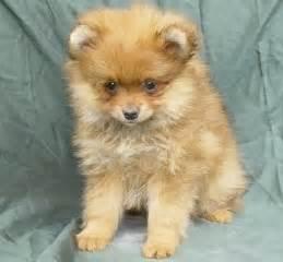 Backyard Dog Breeders Types Of Pomeranians Pomeranian Dog Information Care