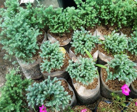 tanaman cemara embun bibitbunga