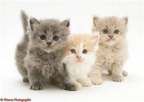 Three Cute Kittens | three cute kittens cats picture