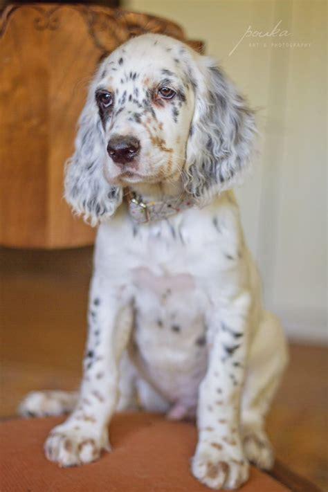 english setter dog collar lucky fiona puppy collar lucky fiona collars