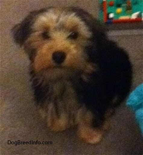 3 month yorkie puppy size terrier breed information and pictures yorkie