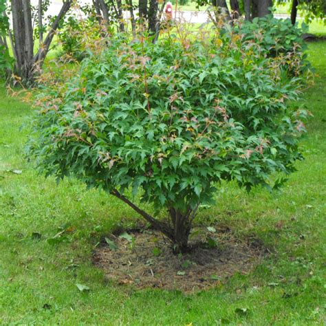 flowering shrubs canada evergreen trees canada search bushes shrubs