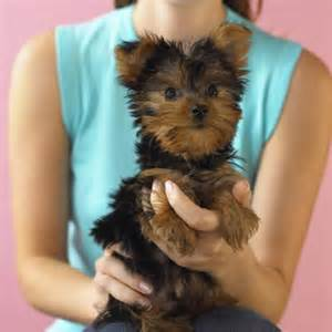 how to cut a yorkie poo s hair the best trimmers to use for a yorkie puppy cut cuteness com