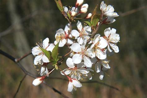 prunus nigra canada plum go botany
