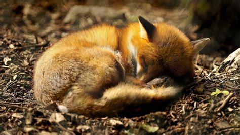 Wallpapers Fox The Best High Quality Wallpapers Best   high quality fox wallpaper full hd pictures