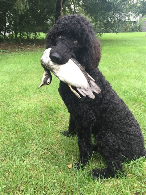 poodle puppies for sale mn reyahmi standard poodles poodle breeder owatonna minnesota