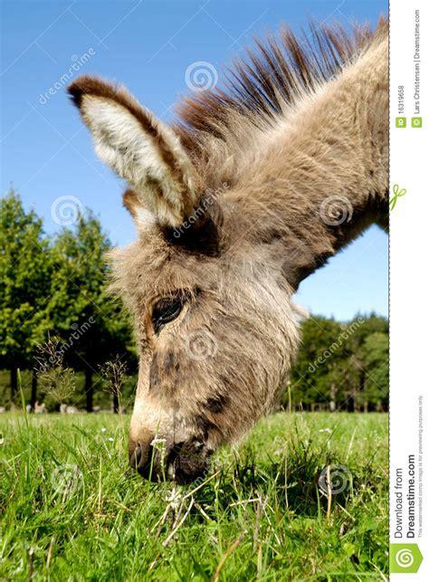 alimentazione asino asino mangia erba fotografia stock immagine di