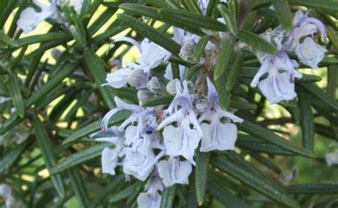 fiori rosmarino pensieri al rosmarino ecoantroposophia