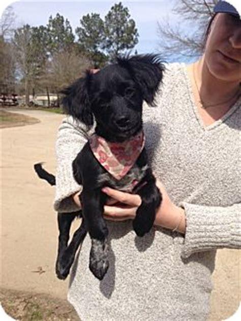 puppies for adoption baton baton la dachshund mix meet shirley a puppy for adoption