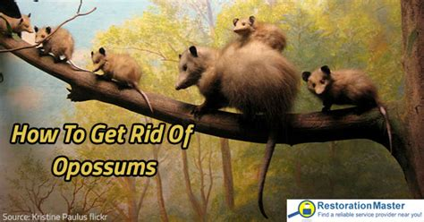 how to get rid of a possum in backyard how to get rid of opossums prevention and removal tips