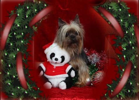 christmas yorkie wallpaper a yorkie christmas dogs animals background wallpapers