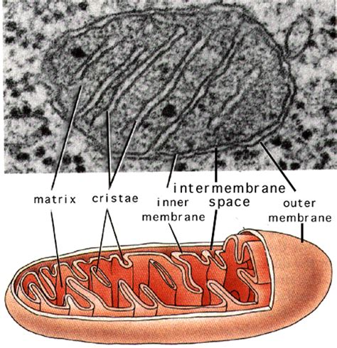 labelled diagram of a mitochondrion mitochondria microbewiki