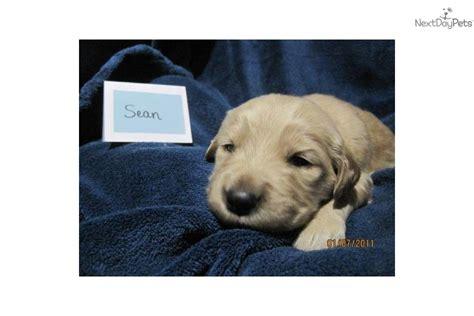 golden retriever for sale in va golden retriever puppy for sale near morgantown west