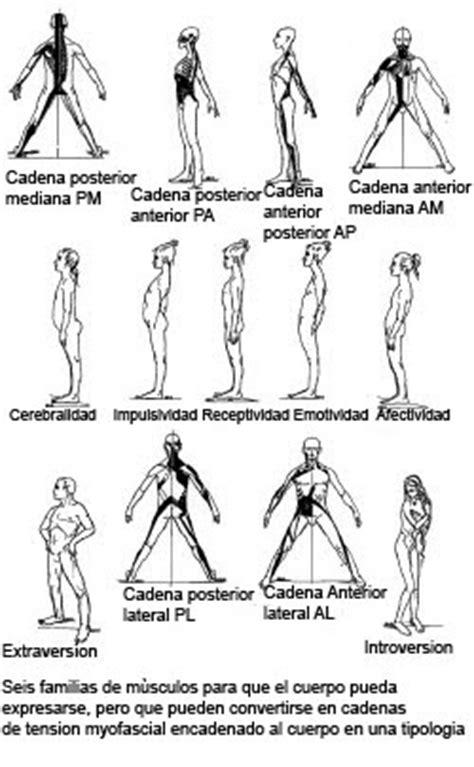 cadenas musculares anteriores terapia del movimiento cadenas musculares