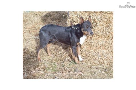 kelpie x rottweiler puppies for sale kelpie puppies are for sale in australia with pups 4 sale puppy breeds picture