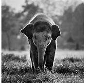 Cute Baby Elephant Walking Wallpapers