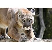 Riverton Radio &187 First News Mountain Lion Stalks Sinks Canyon Other