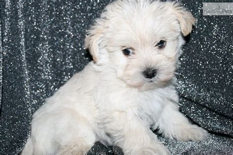 white maltipoo puppies the gallery for gt white maltipoo puppies