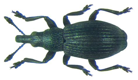 sedi or file aizobius sedi germar 1818 7651749926 png