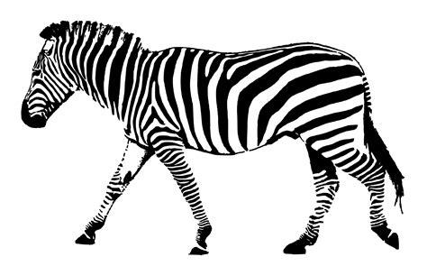 black and white zebra ls zebra black white stripes free stock photo public domain