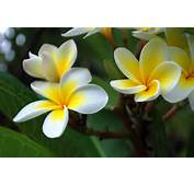 Description Frangipani Flowersjpg