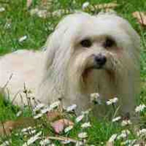 do havanese shed breeds that don t shed hypoallergenic dogs