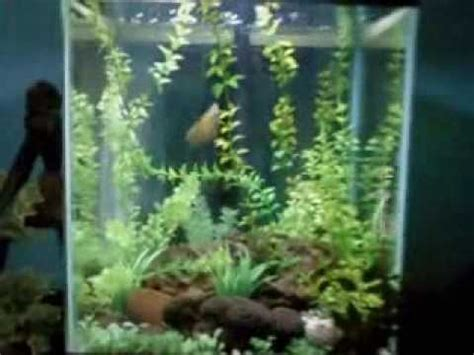 Bibit Rumput Air Dekorasi Aquarium dekorasi mini aquarium sederhana