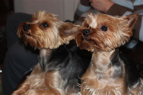 tiny yorkie puppies adorable tiny yorkie puppies luton bedfordshire pets4homes