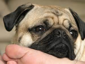<strong>Pug</strong>_dog_Puppy_pictures_4.JPG