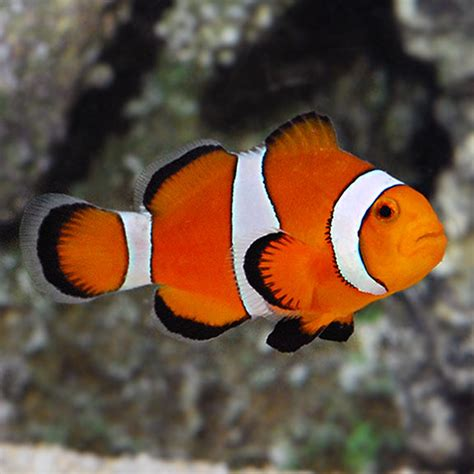 different colored different colored clown fish www pixshark images