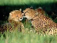 Cheetah Wild Animals