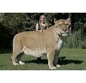 Baby Liger A Lion Tiger Hybrid Unveiled At South Carolina Wildlife
