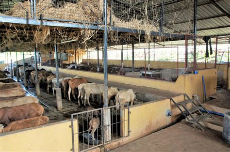 Cow Sheds by Cow Shed Shelter At Surabhivana Save Indian Cows Save
