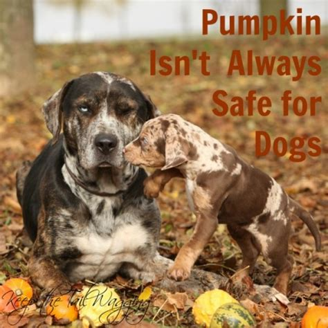 canned pumpkin for dogs pumpkin isn t always healthy for dogs keep the wagging