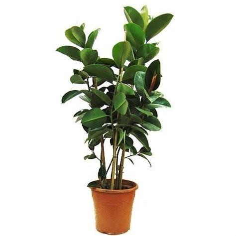 Ficus Interior Ficus Robusta Ficus Ficus Robusta Ficus