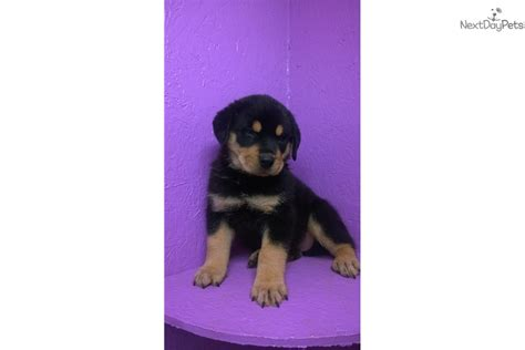 rottweiler puppies pittsburgh big black rottweiler for sale in pittsburgh pa 4337734550 4337734550