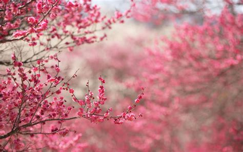japanese cherry blossoms wallpaper beautiful flowers