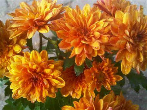 Bunga Krisan Orange Besar tanaman krisan orange bibitbunga