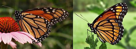 imagenes de mariposas national geographic danaus plexippus wikipedia la enciclopedia libre