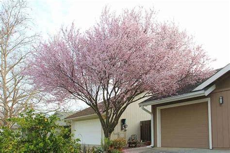 prunus cerasifera krauter vesuvius cherry plum