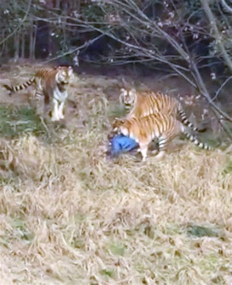 duck boat video liveleak tigers maul man to death at ningbo younger zoo in china in