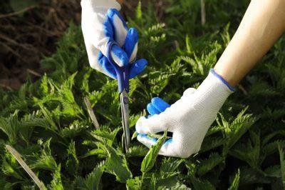 wann erntet rhabarber bis wann rhabarber ernten rhabarber pflanzen pflege und