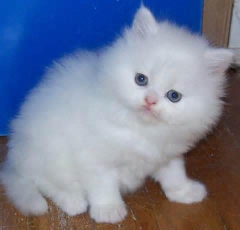 persian-<strong>kitten</strong>.jpg
