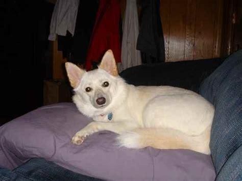 shiba inu mix puppies imo inu shiba inu x american eskimo mix facts temperament puppies pictures