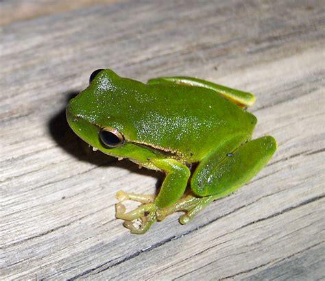leaf green tree frog wikipedia