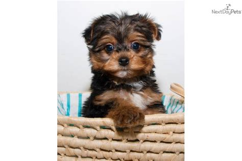 teacup yorkie poos for sale teacup yorkie poo puppies for sale in washington