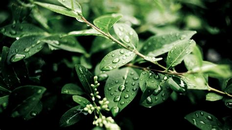 green foliage outdoor plants plants after green leaves water drops wallpaper