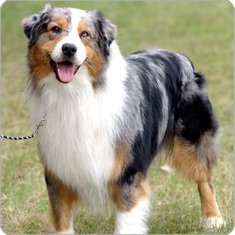 aussie breed australian shepherd breeds purina