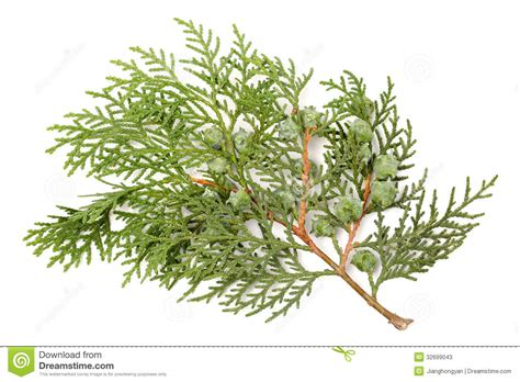 leaves of pine tree stock image image of green christmas